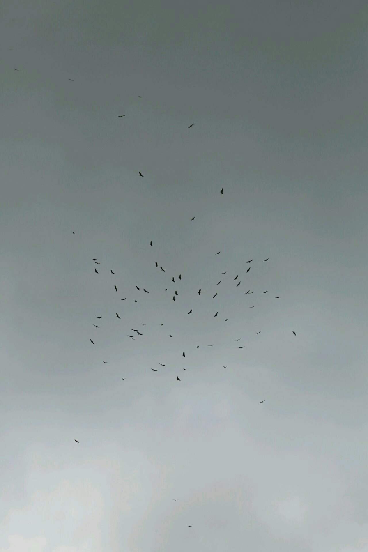 Migrating Turkey Vultures. Canopy Tower, Panama.