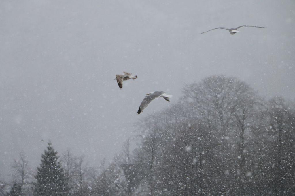 Gulls in snow. Tveitevatnet.
