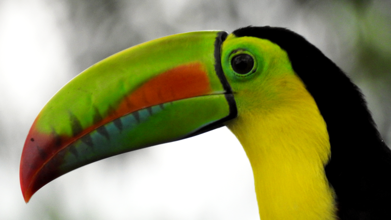 Maybe you will se more than one toucan