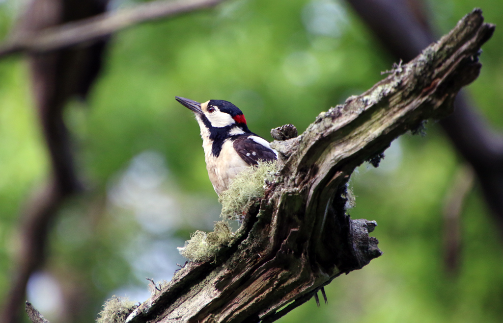 The Great Spotted Woodpecker is a common bird in Ottenby Lund