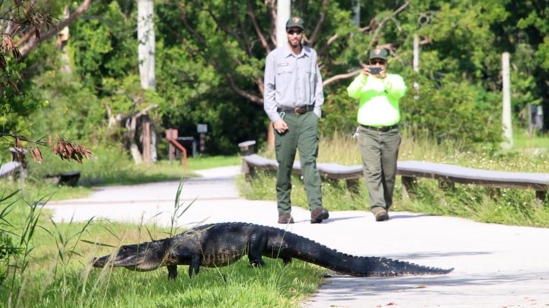 Krydsende alligator