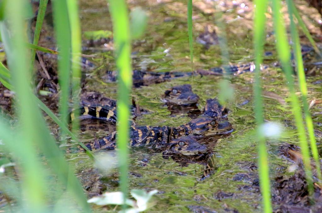 Små nuttede alligatorunger. Anhinga Trail, Everglades Nationalpark.