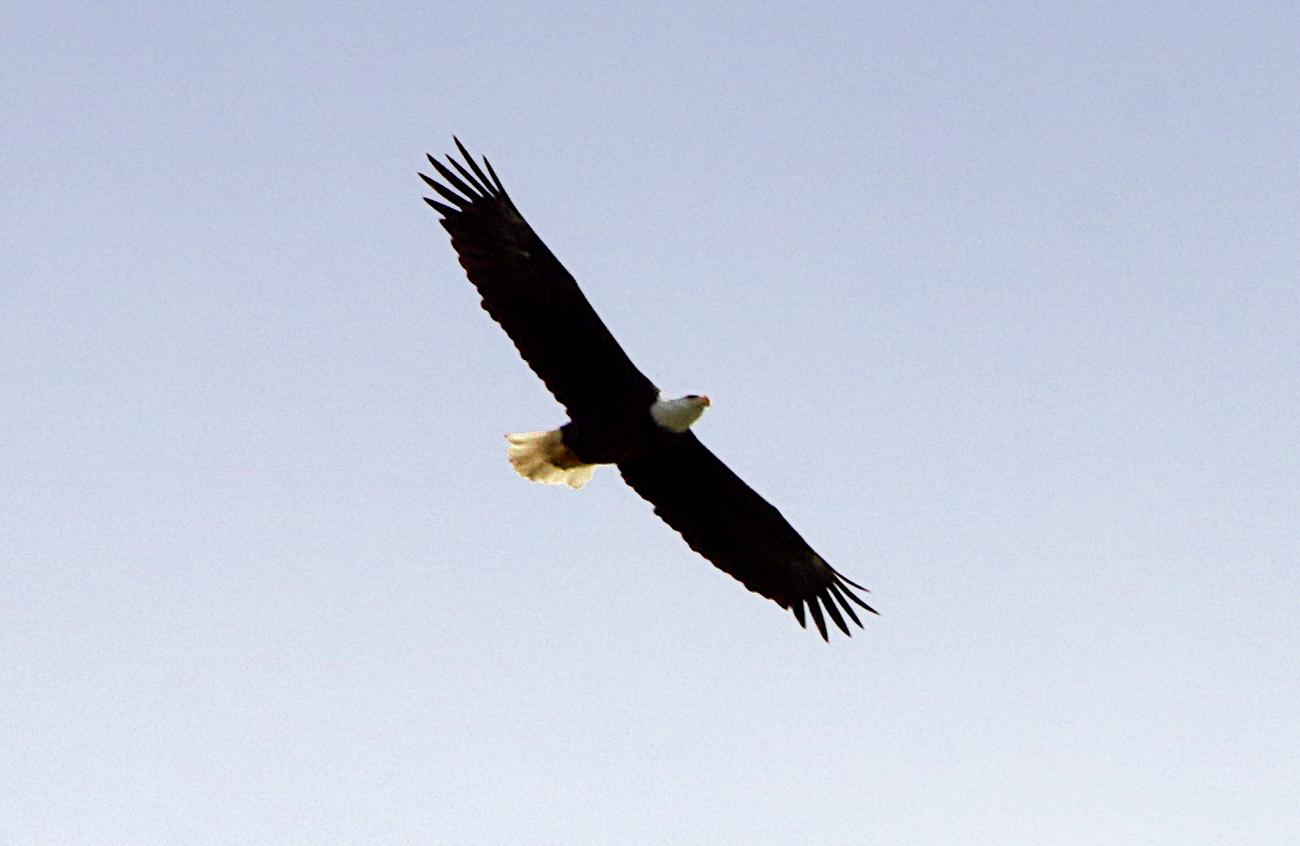 Bald Eagle. Florida.