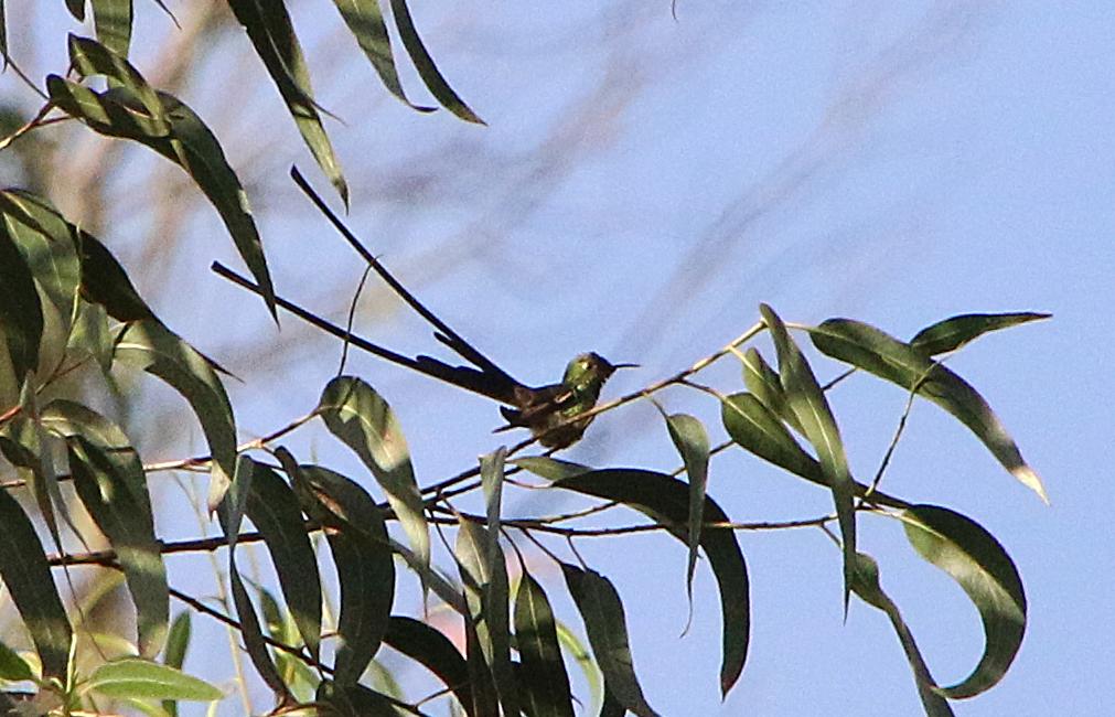 En ad kolibriarterne med lange halefjer. Black-tailed Trainbearer. Baños, Ecuador.