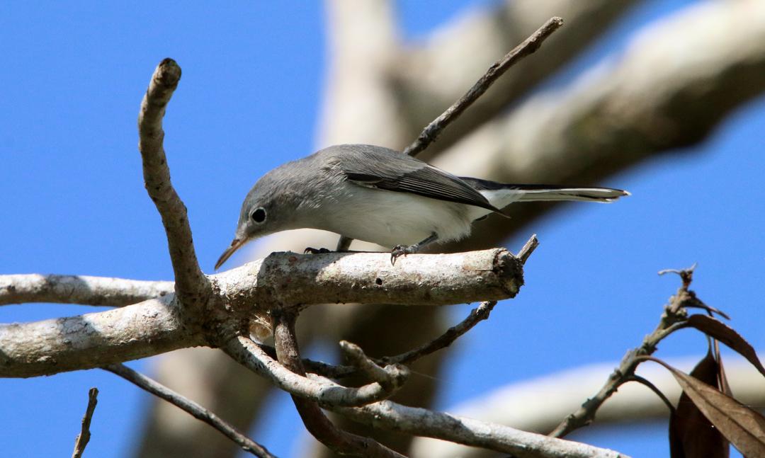 Blue-Gray Gnatcatcher. Anhinga Trail. Everglades Nationalpark.