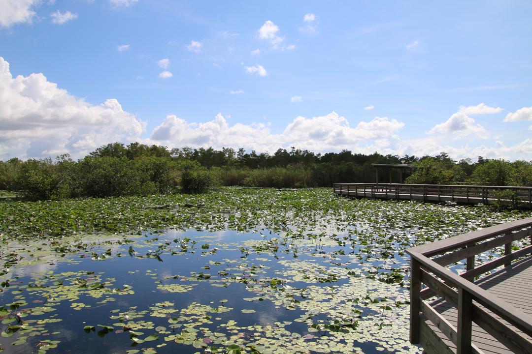 Alligatorhabitat langs Anhinga Trail. Everglades Nationalpark.