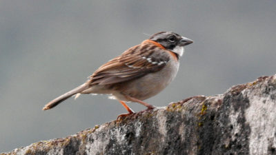 eature Rufous-collered Sparrow