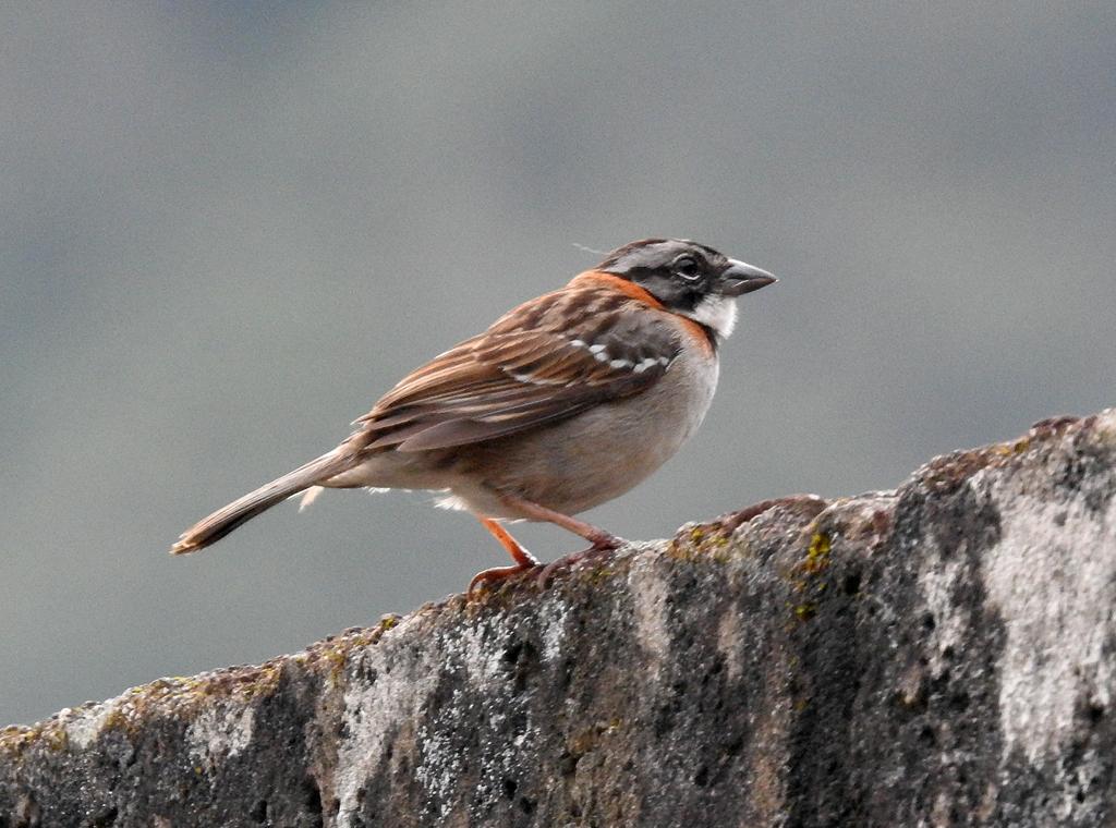 Rufous-collered Sparrow. En meget almindelig fugl i Ecuador.