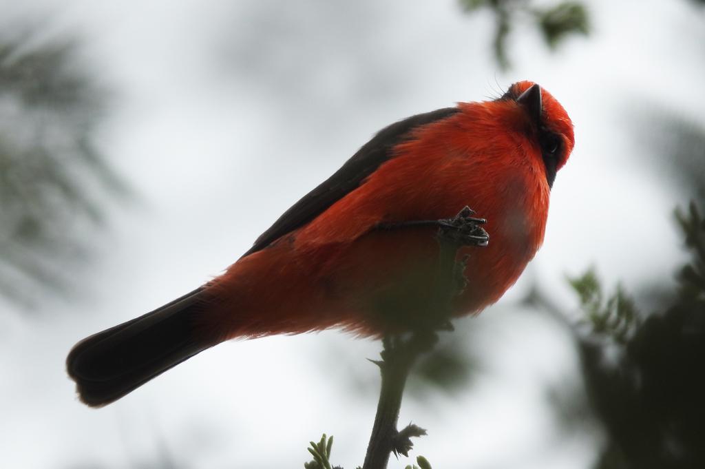 """En af vores mange """"target-arter"""". Vermillion Flycatcher. La Mitad del Mundo, Ecuador."""