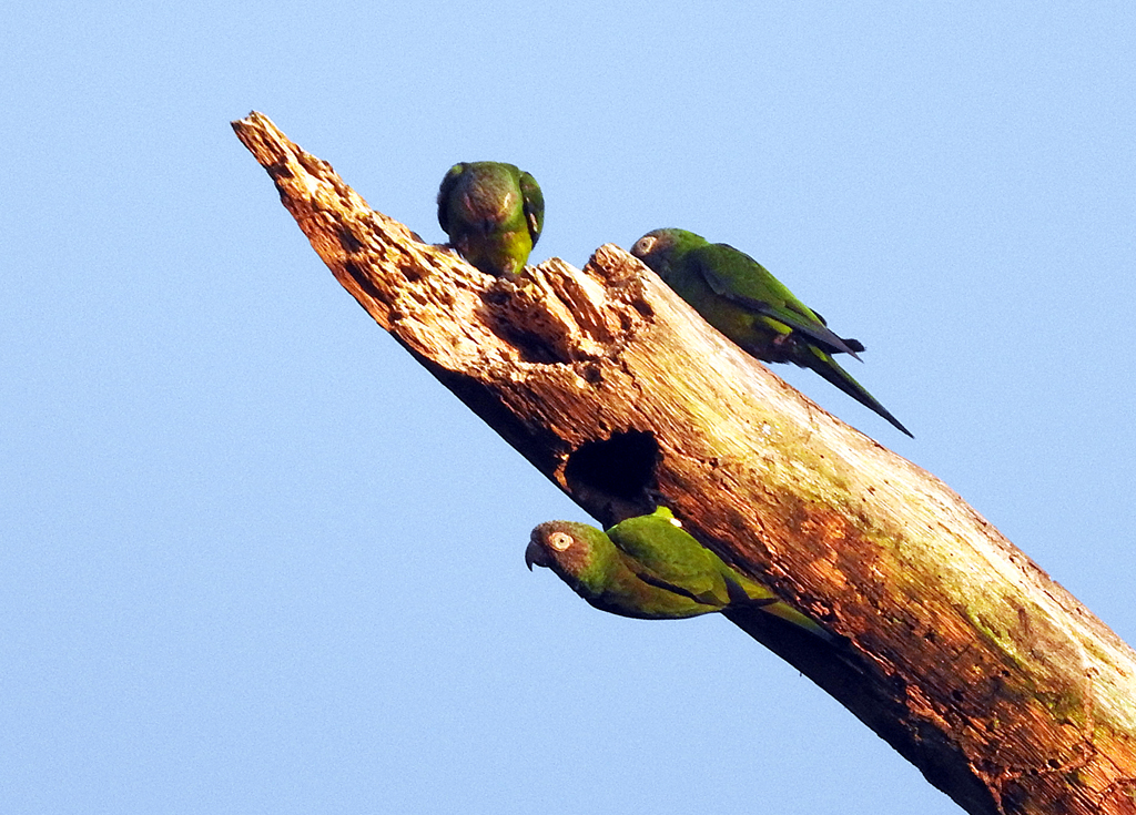 Dusky-headed Parakeets. Rio Napo, Amazonas, Ecuador.