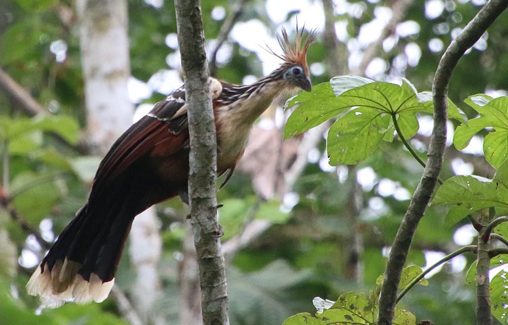 Hoatzin - et levn fra fortiden. Rio Napo, Amazonas, Ecuador.
