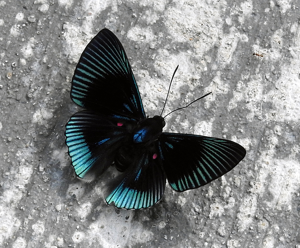 Sommerfugl. Amazonas, Ecuador.
