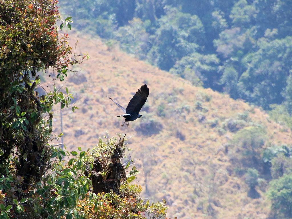 Solitary Eagle, et sjældent syn i området.