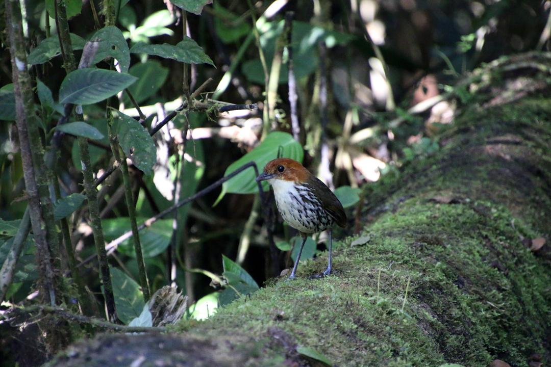 Chestnut-crowned Antpitta. Refugio Paz de las Aves, Ecuador.