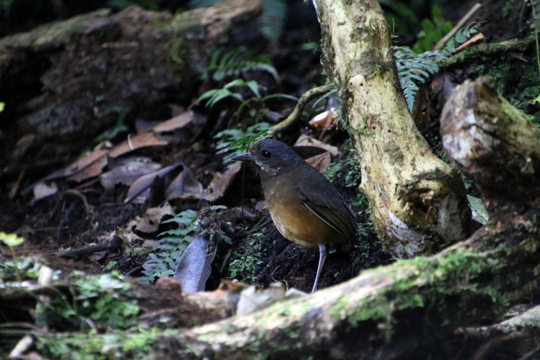 """Susan"" - Moustached Antpitta. Refugio Paz de las Aves, Ecuador."