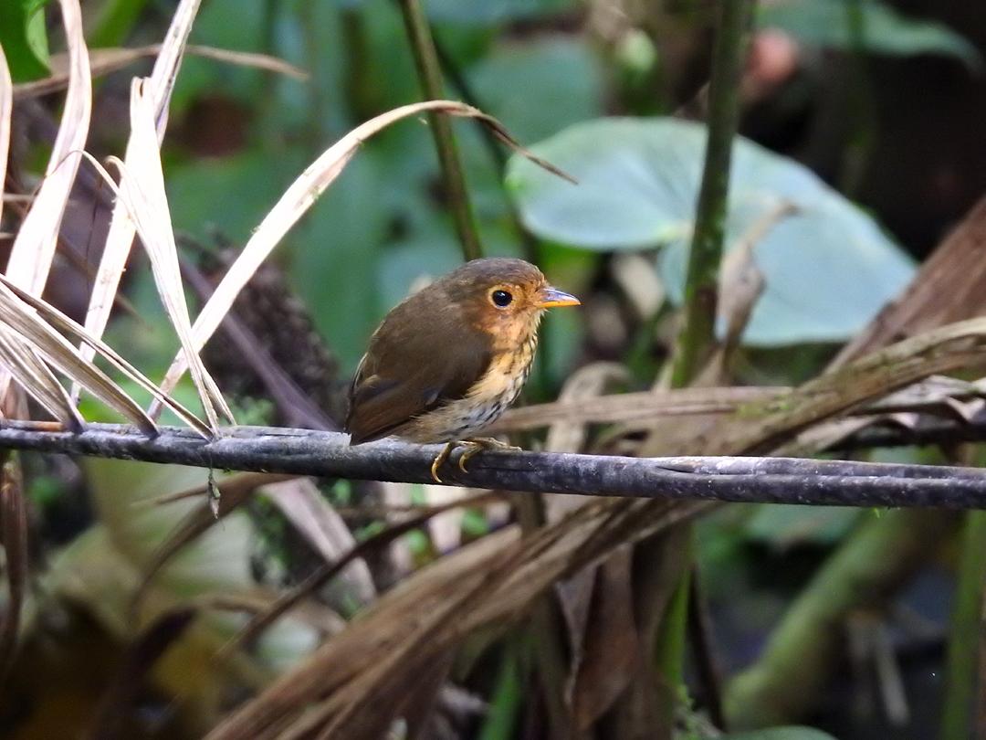 """""""Shakira"""" - Ochre-breasted Antpitta. Refugio Paz de las Aves, Ecuador."""