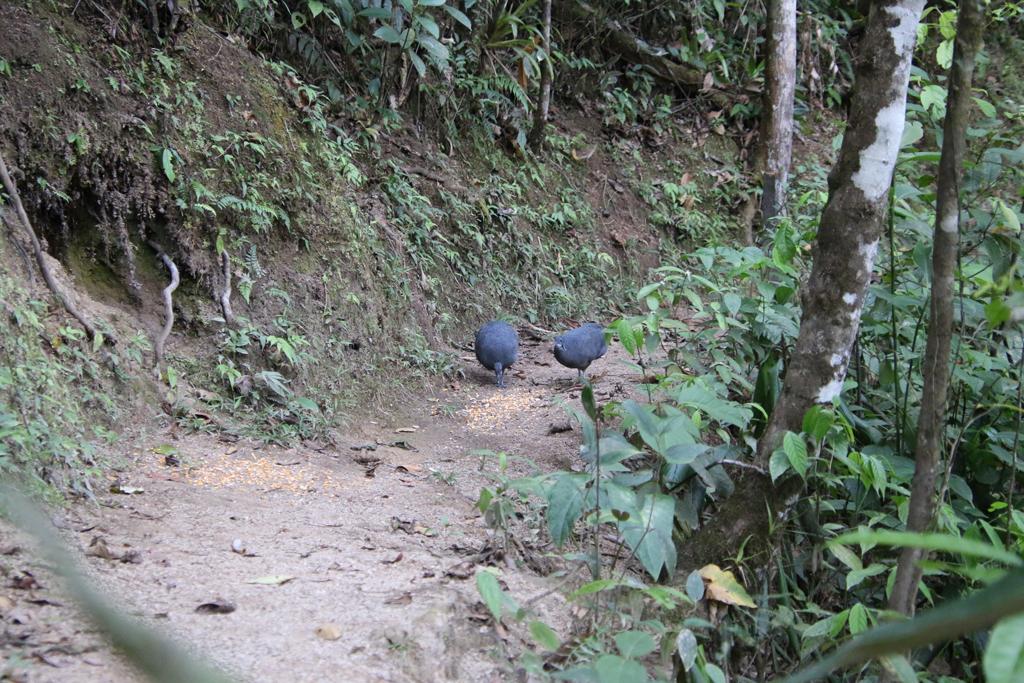 Grey Tinamous. To fugle er kommet til foderpladsen. Copalinga, Zamora, Ecuador.