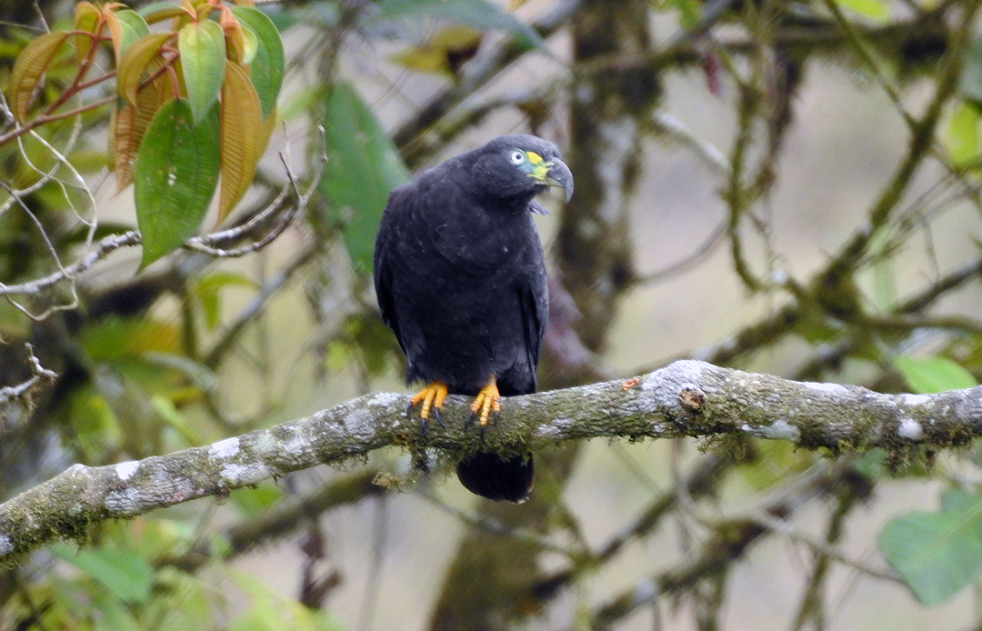 Hook-billed Kite (mørk fase). Buenaventura, Ecuador.