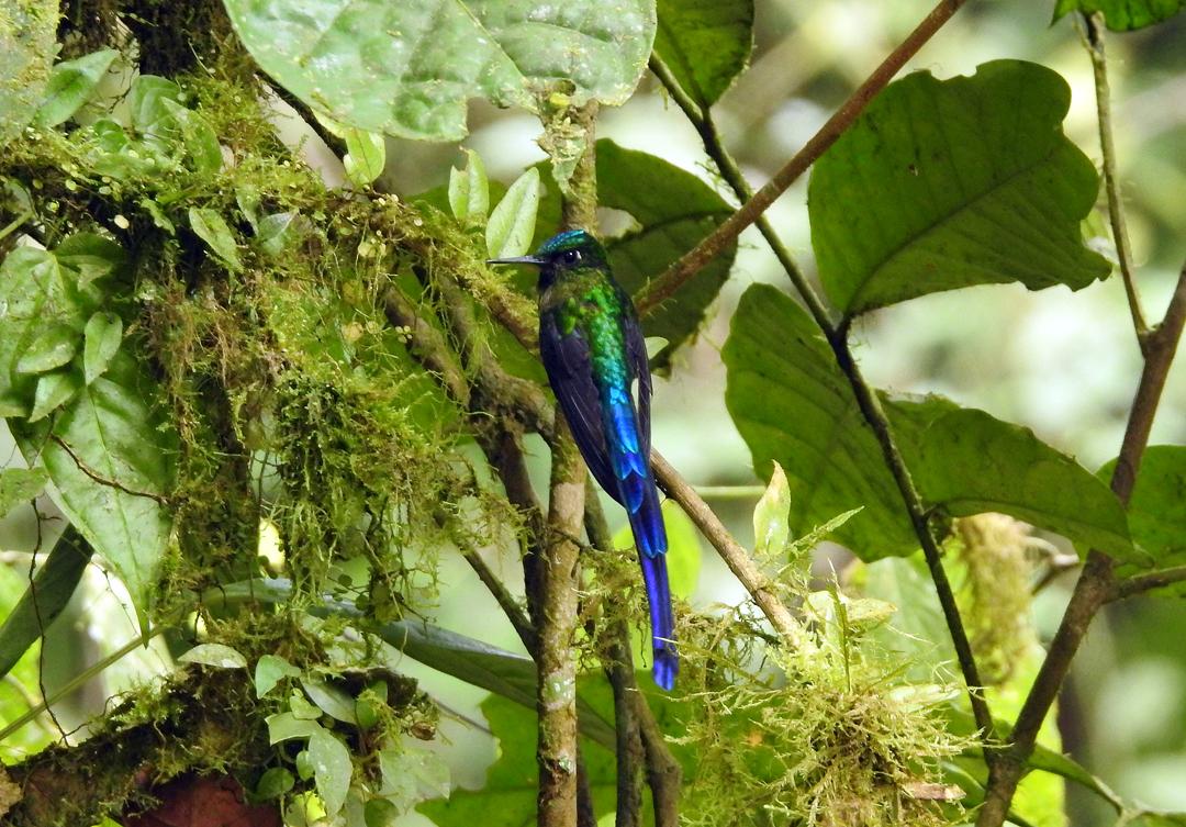 Violet-tailed Sylph (han). Jardin de Colibrís, Buenventura, El Oro, Ecuador.