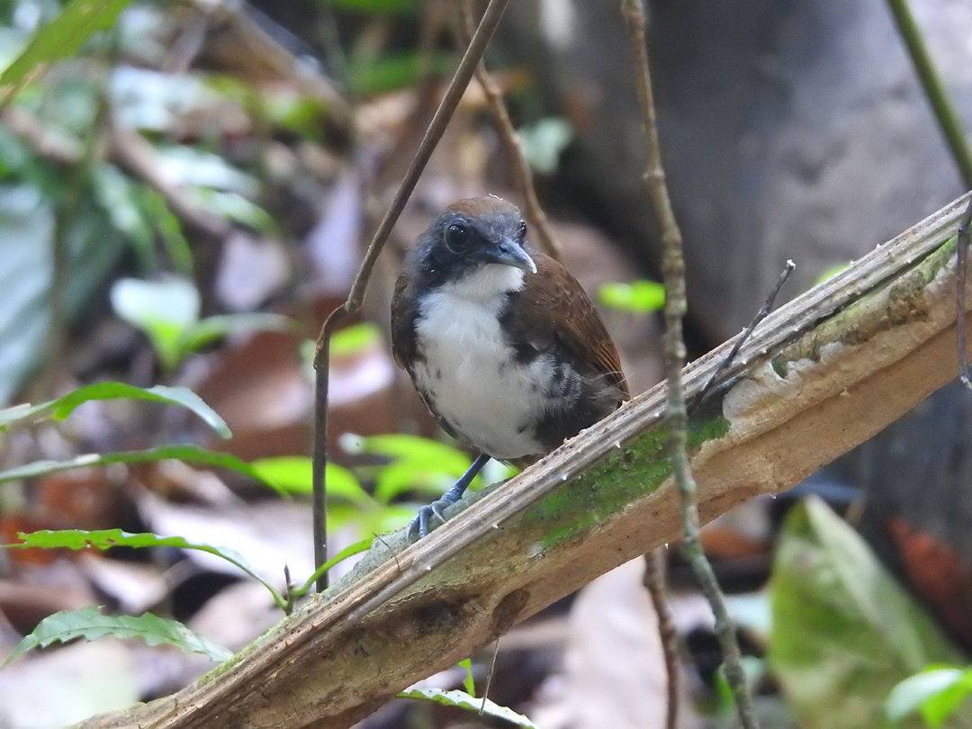 Bicolored Antbird (Tofarvet Myrefugl), Pipeline Road, Soberania NP., Panamá.