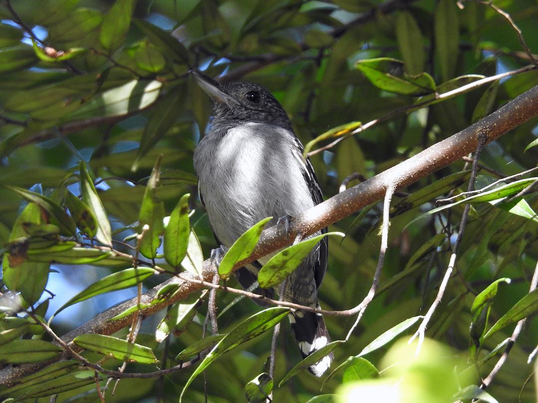 Black-crowned Antshrike (Vestlig Skifer Myretornskade), Pipeline Road, Soberania NP., Panamá.