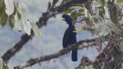 Long-wattled Umbrellabird (han)., Upper lek Site, Recinto 23 de Junio, Ecuador.
