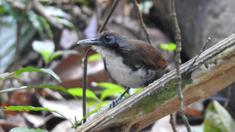 Bicolored Antbird, Pipeline Road, Soberania NP., Panamá.