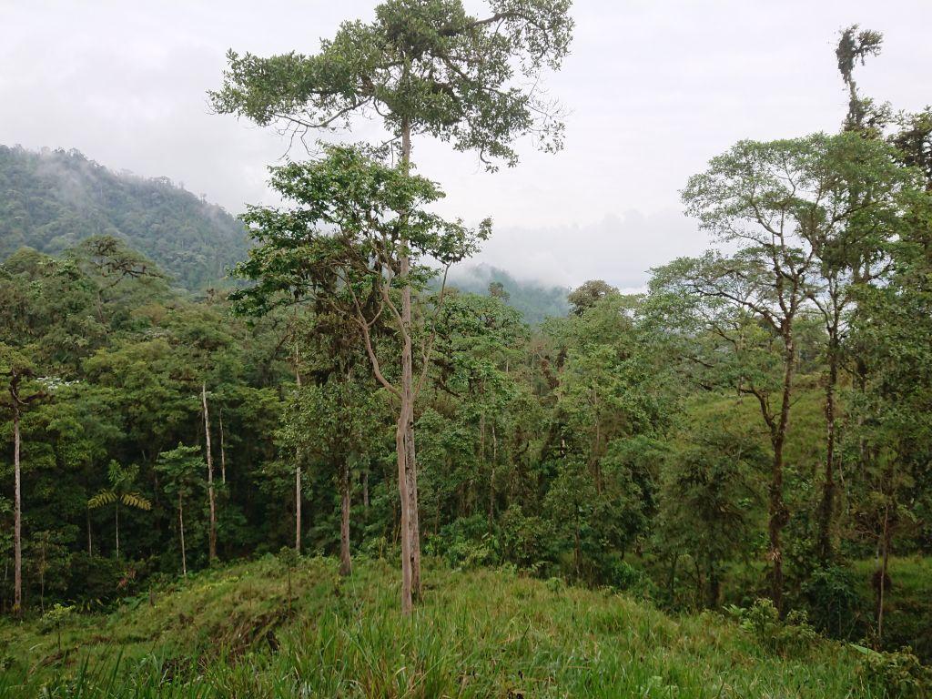 Skoven omkring Upper lek Site, Recinto 23 de Junio, Pichincha, Ecuador.