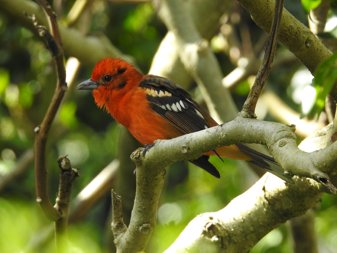 Flame-colored Tanager (han). Finca Lerida, Boquete, Panamá.