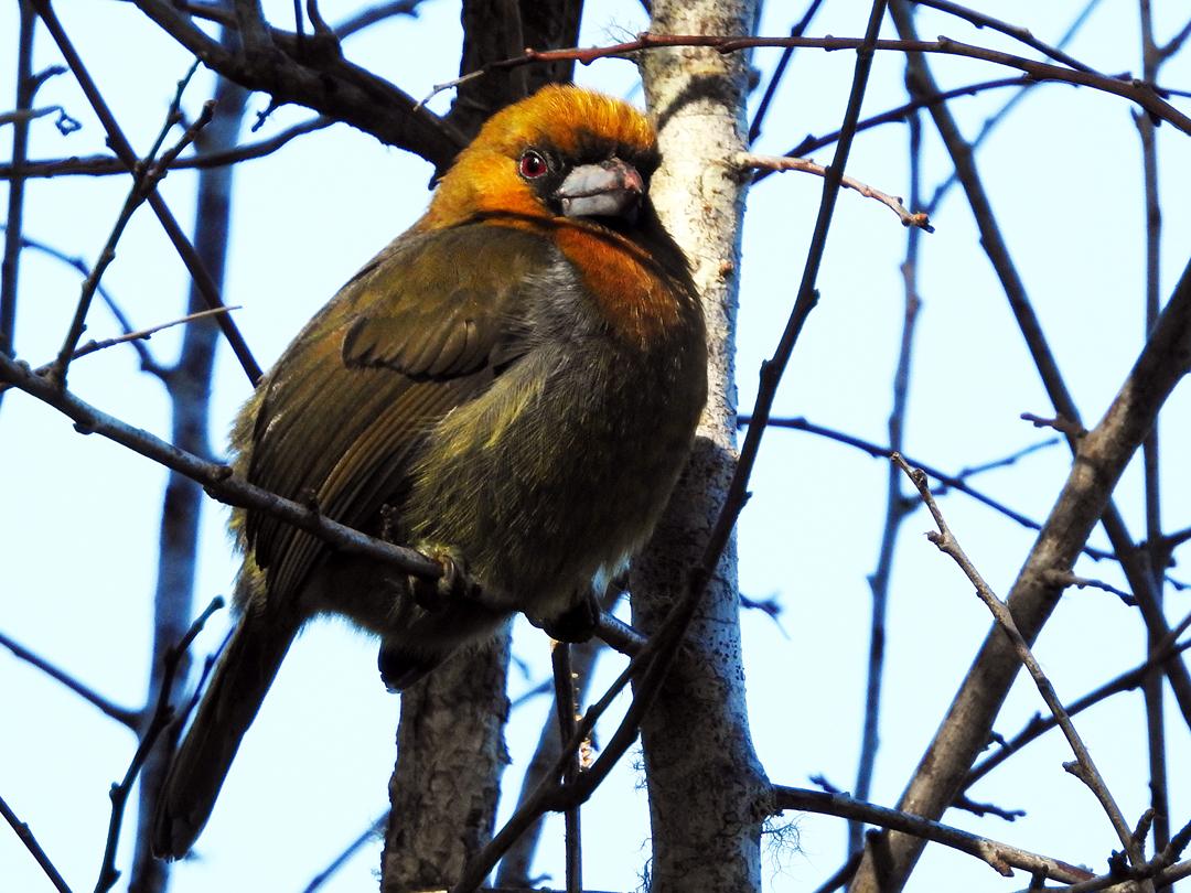 Prong-billed Barbet har en meget begrænset udbredelse. Arten findes i tågeskove på den caribiske side af Costa Rica og det vestlige Panamá. Sendero Los Quetzales, Boquete, Panamá.