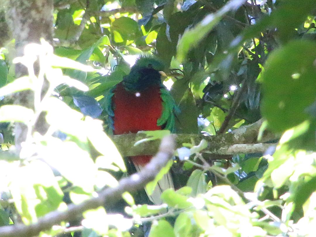 Kort efter, at vi havde opgivet at se Resplendent Quetzal, opdage Bente denne flotte han på vores vej tilbage. Pipeline Trail, Boquete, Panamá.