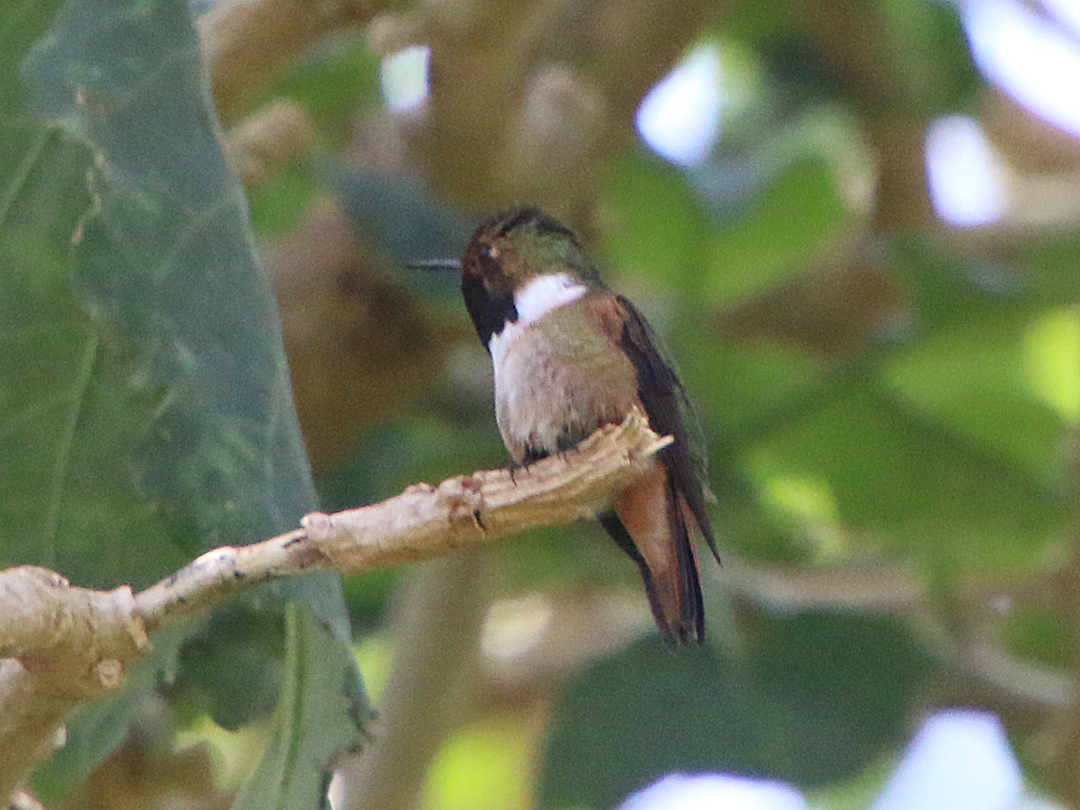 Scintilliant Hummingbird (han). Finca Lerida, Boquete, Panamá.