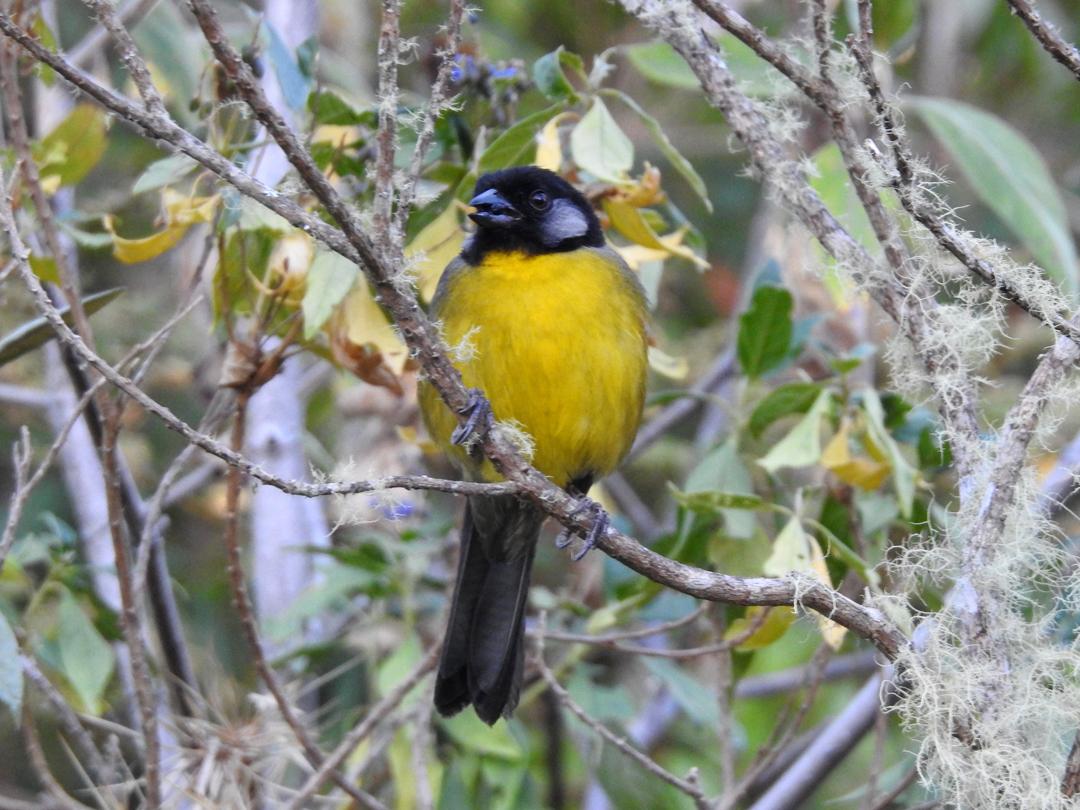 """Santa Marta Brushfinch er den af de mange """"Santa Marta endemer, der er lettest af se. Den ses i 2200-3000 m.o.h. El Dorado Reserve, Sierra de Nevada de Santa Marta, Colombia."""