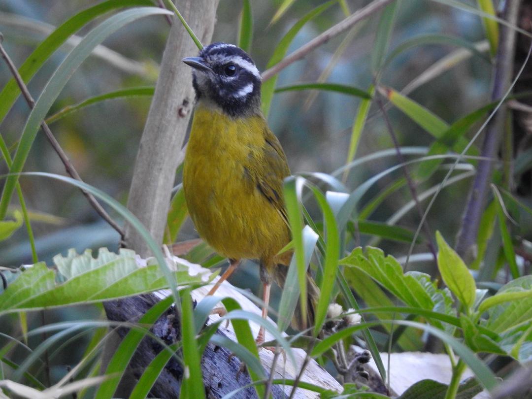Santa Marta Warbler. Denne endemiske art finder man kun i 2200-3000 m.o.h. i Santa Marta bjergene. San Lorenzo Ridge, Sierra de Nevada de Santa Marta, Colombia.