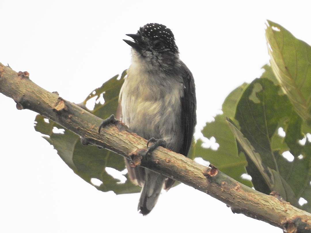 Den lille og endemiske Greyish Piculet, Laguna Sonso. Colombia Birdfair 2019, Cali, Colombia.