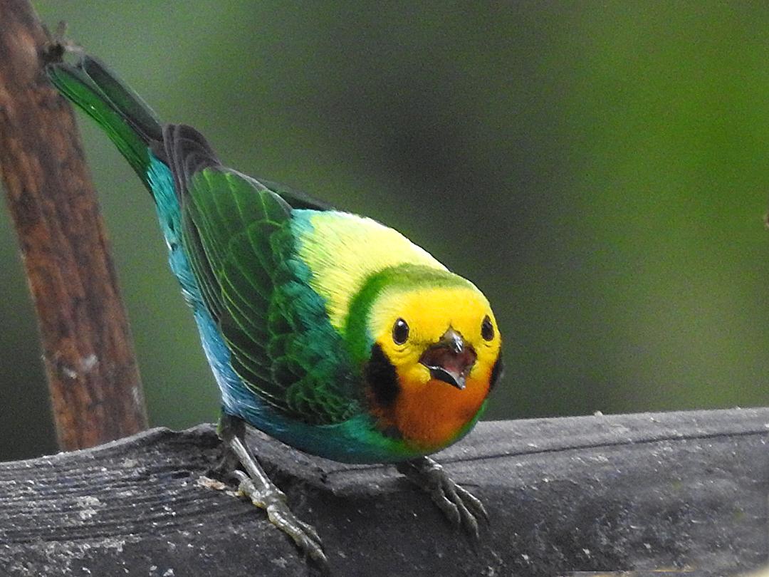 Den farvestrålende og endemiske Multicolored Tanager, Kilometros 18. Colombia Birdfair 2019, Cali, Colombia.