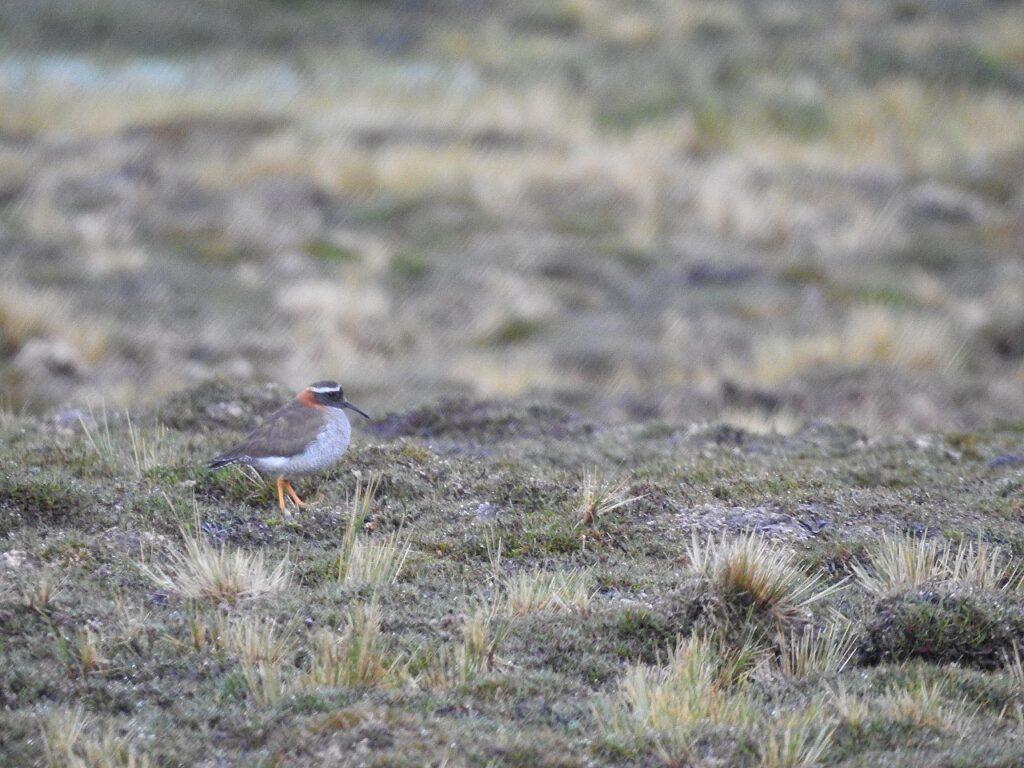 En voksnen DSP i 4712 m.o.h. Diadembrokfugl i Andesbjergene, Peru.