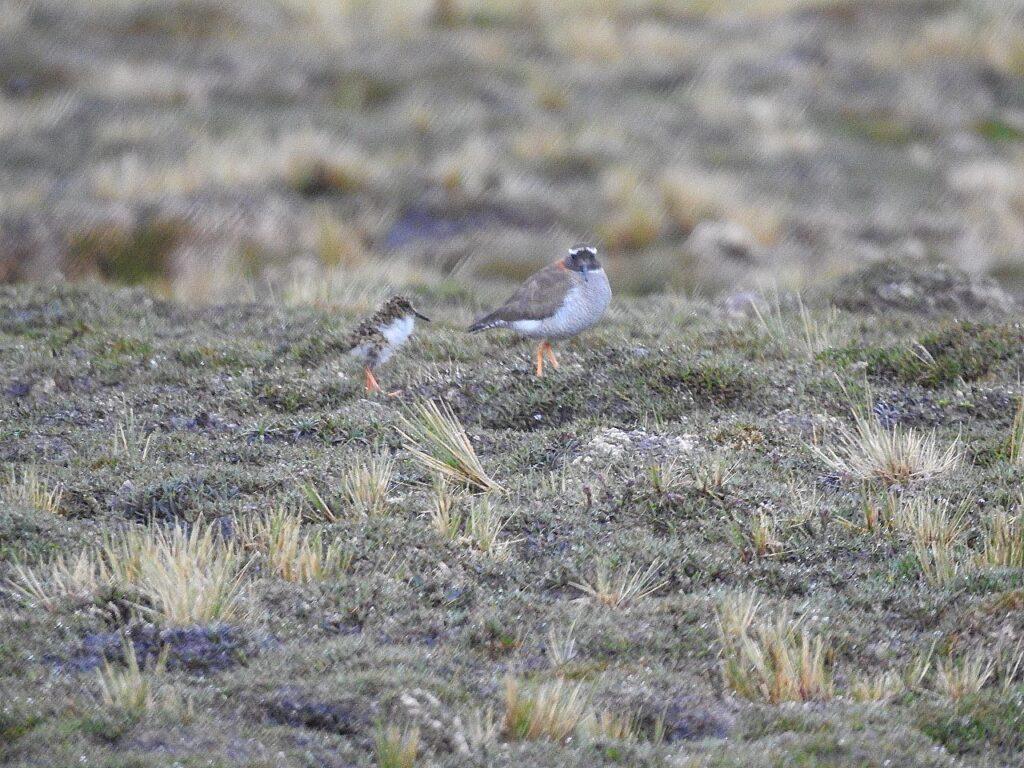 En voksen DSP med sin ene unge. Diadembrokfugl, Andesbjergene, Peru.