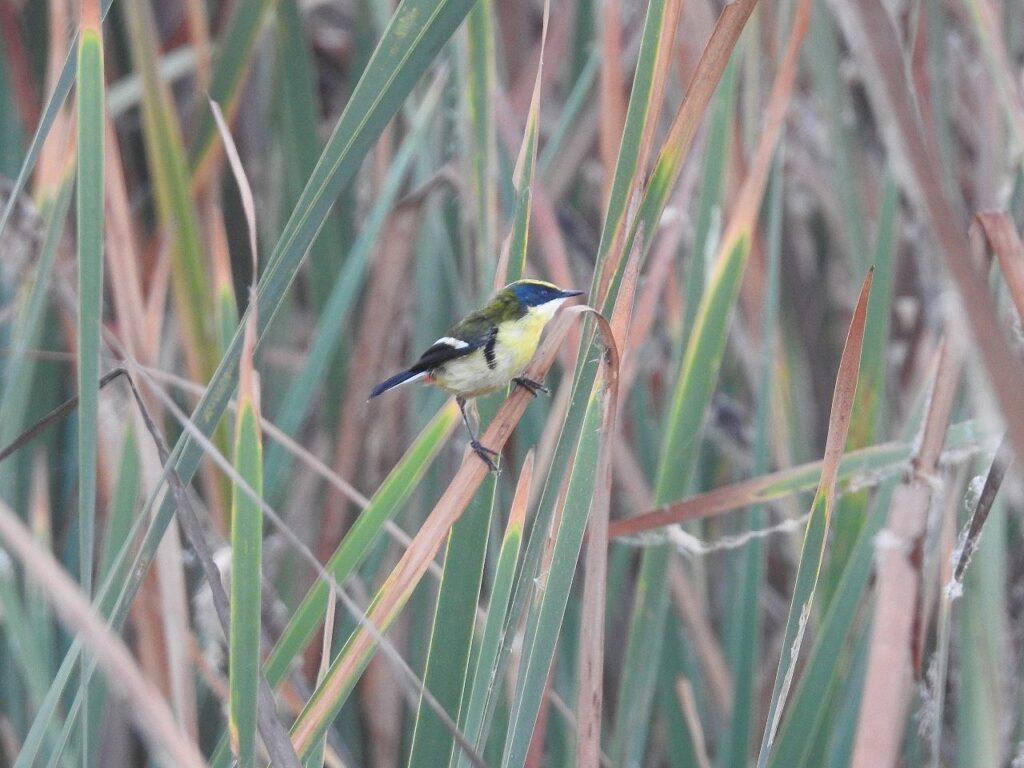 Især hannen af Mangefarvet Rørtyran lever op til sit navn. Villa Marshes, Peru.