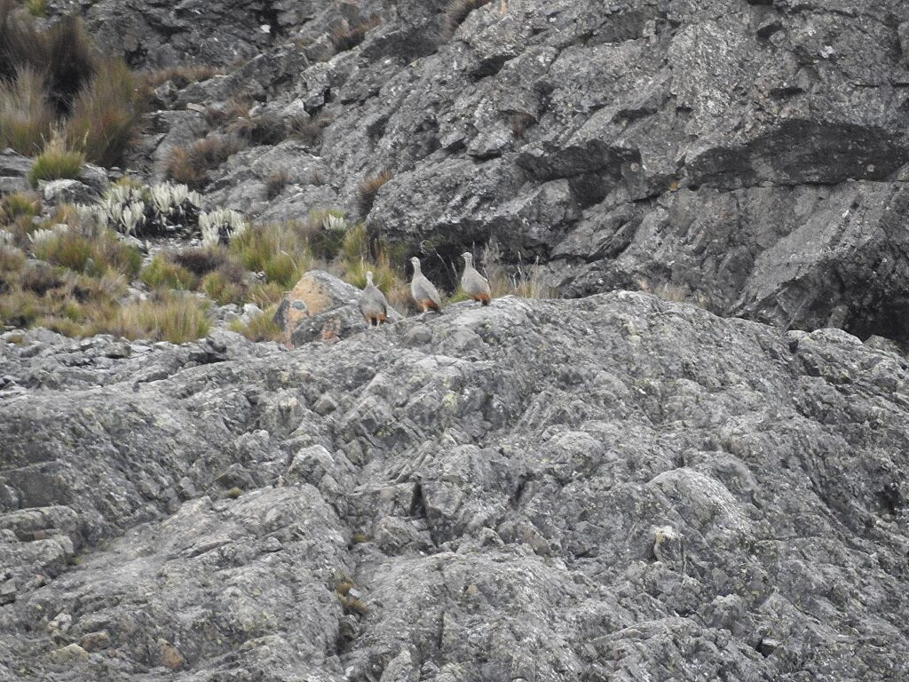 I næsten 4800 m.o.h. lykkedes os at se tre Puna Tinamuer. Andesbjergene, Peru.