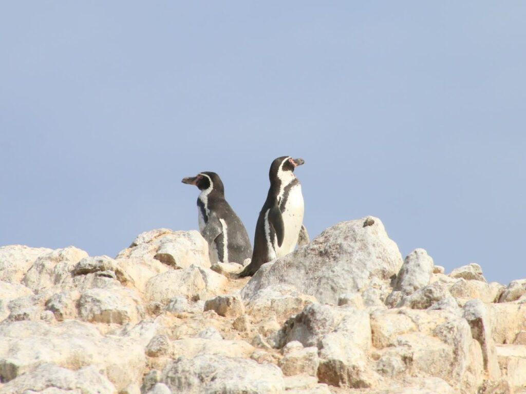 Humboldt Penguins Spheniscus humboldti. BallestasIslands, Paracas, Peru.