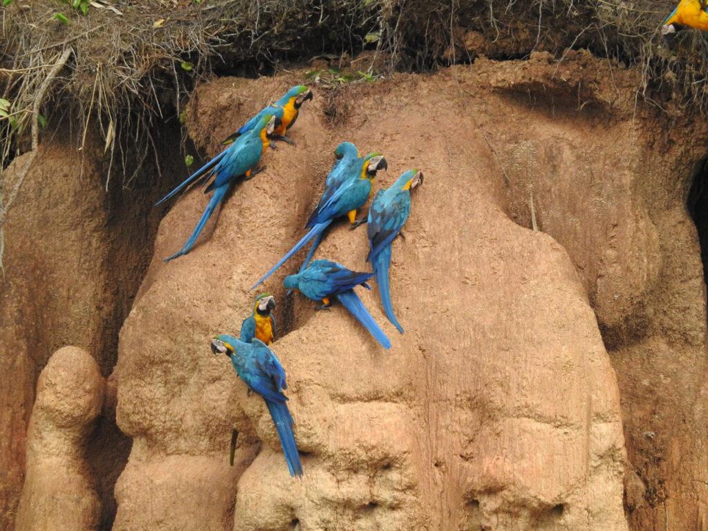Forestillingen er begyndt! Efter lang tid venten, havde de første Blågul Ara (Ara ararauna) taget mod til sig. Chuncho Clay Lick, Tambopata National Reserve, Peru.