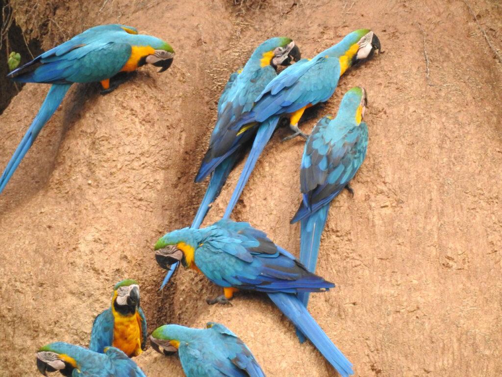 Hvorfor spiser papegøjer ler? Er det for at neutralisere toksiner i deres føde - eller er det et kosttilskud af natrium? Chuncho Clay Lick, Tambopata National Reserve, Peru.