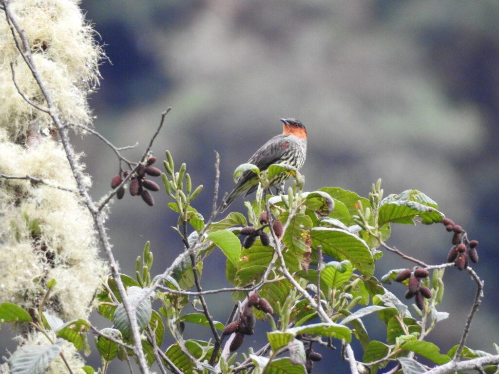 Chestnut-crested Cotinga (Ampelion rufaxilla). Manu Road, Peru.