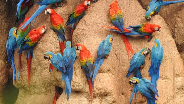 Chuncho Clay Lick, Tambopata Nationalpark, Peru.