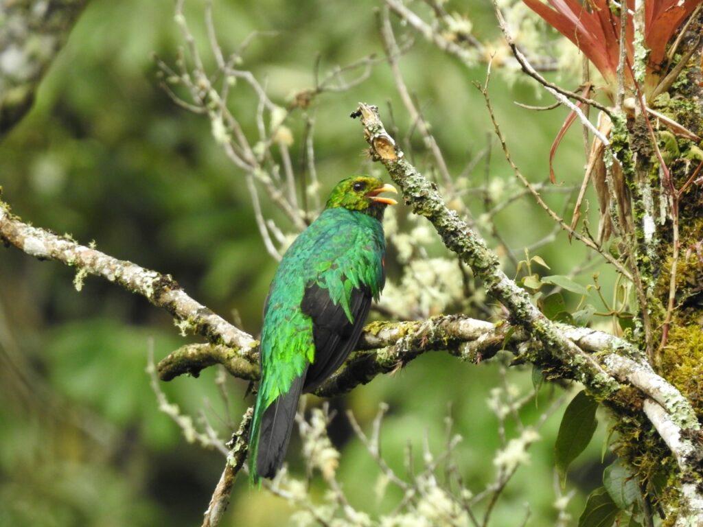 Vi så flokke af Gyldenhovedet Quetzal (Pharomachrus auriceps) - her en han - på Manu Road.