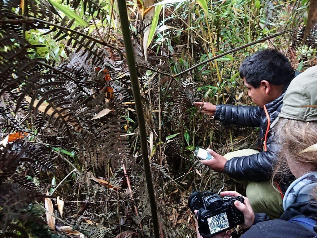 Vi måtte helt ind i buskadset for at se den endemiske Rødbrun Antpitta (Grallaria erythroleuca). Manu Road, Peru.