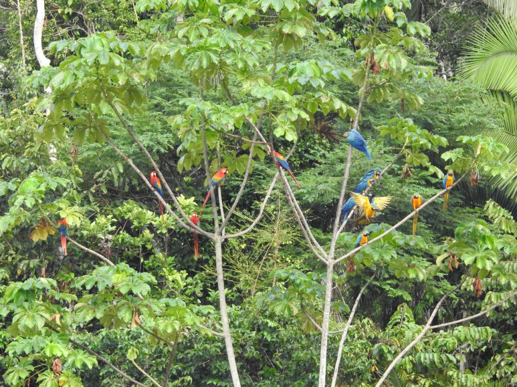 Hvorfor spiser papegøjer ler? De store araer sidder længe og venter i træerne, før de tør flyve ned på flodbrinken for at spise ler. Chuncho Clay Lick, Tambopata National Reserve, Peru.