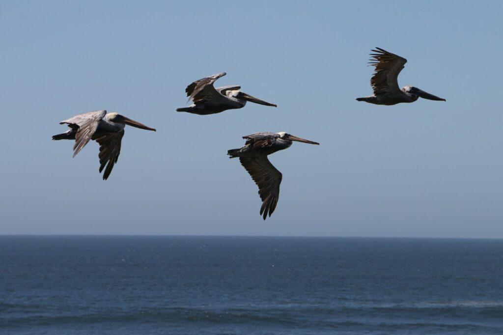 Pelikaner. Stillehavet, Oregon, USA.