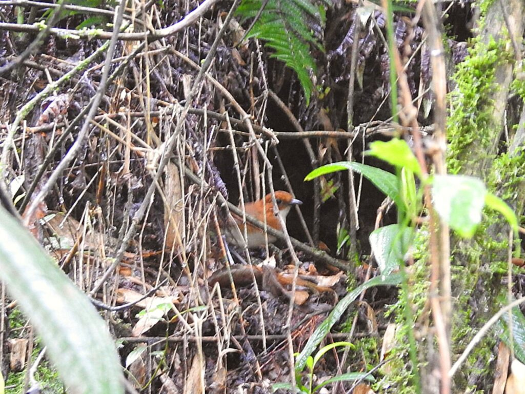 Red-and-white Antpitta (Grallaria erythroleuca), Manu Road, Peru.